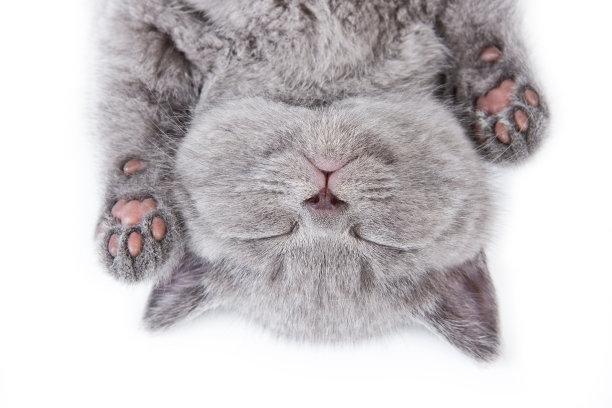睡着的蓝猫特写