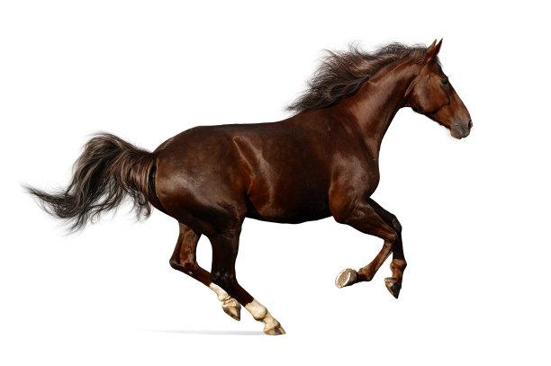 马绘画插图褐色