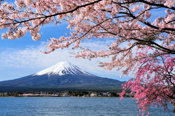 富士山下樱桃树