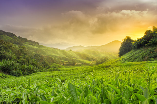 金马仑高原茶园