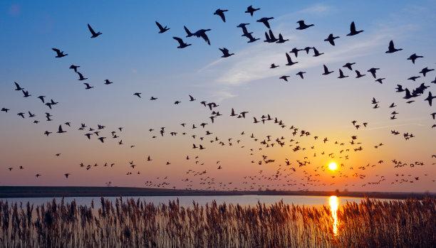 鸟类黑雁迁徙
