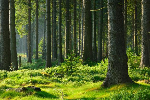森林云杉自然