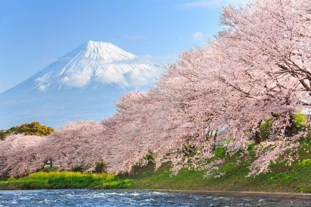 雪山下的樱花林