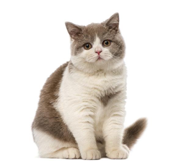 呆滞的蓝白猫咪