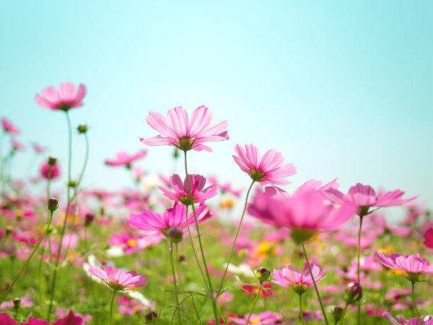 粉色波斯菊