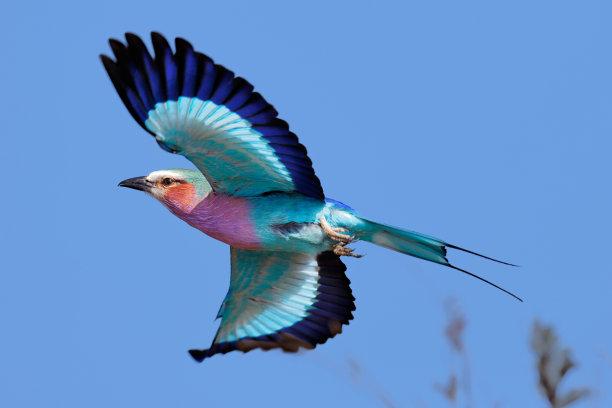 展开双翅的紫胸佛法僧鸟