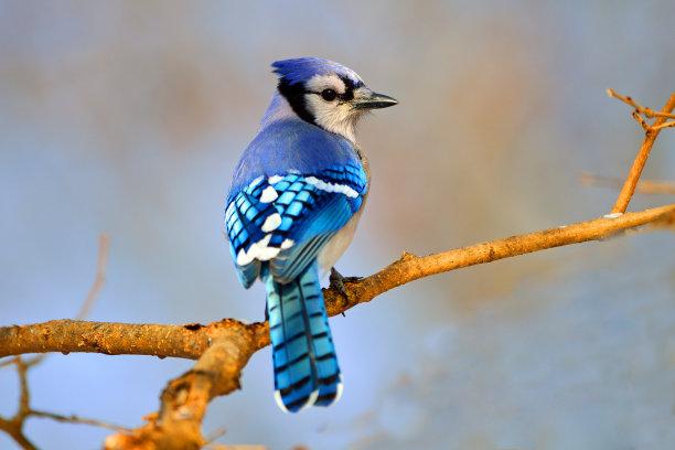 自然界蓝鸦