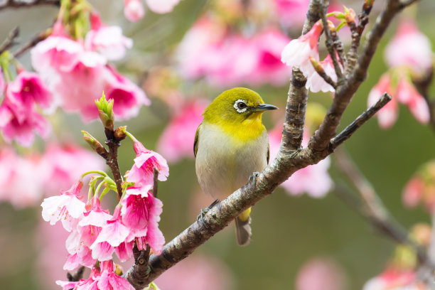 樱花树上的鸟