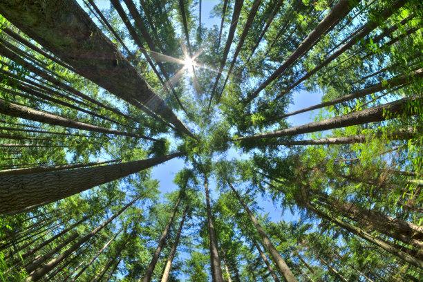 松树拥挤的森林