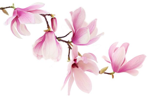 粉色广玉兰