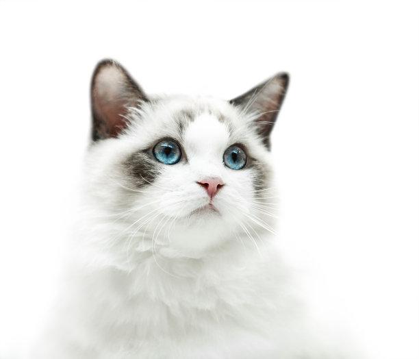 可爱布偶猫咪
