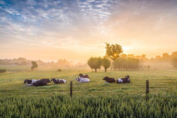母牛草地草原