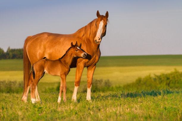 母马驹水平画幅