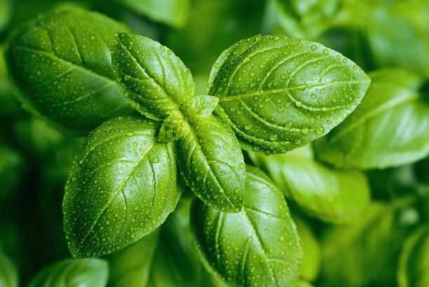 水润的绿叶