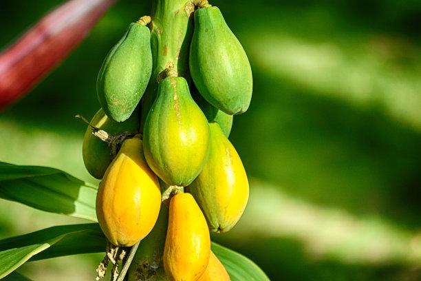 木瓜野外动物美国