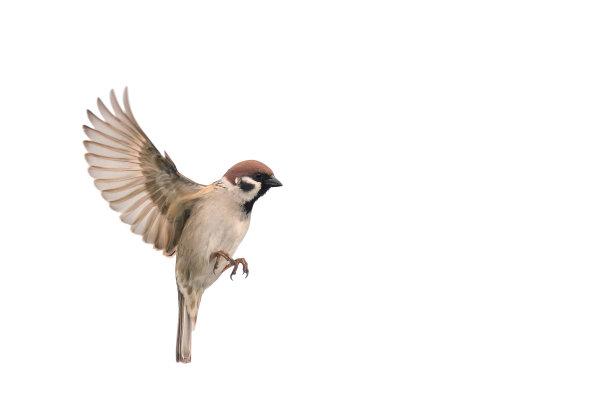 麻雀挥舞翅膀