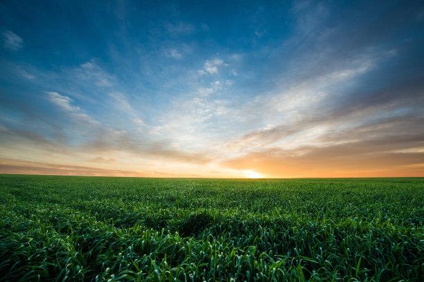 黎明绿色小麦