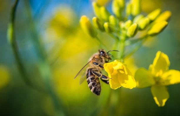 蜜蜂黄色水平画幅