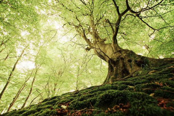 森林丹麦币古树