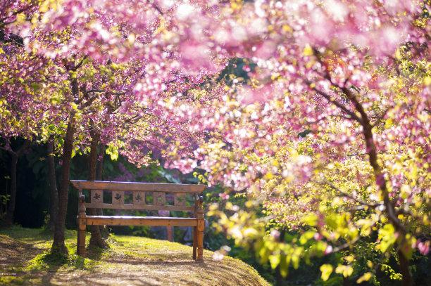 樱花背景上的长椅运动