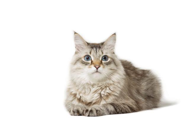 趴着的长毛猫咪