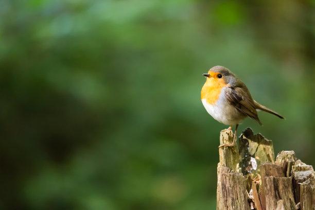 腹部黄白色的鸟类