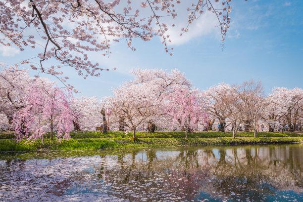 青森县樱桃树日本