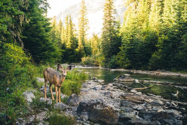 森林里的小鹿