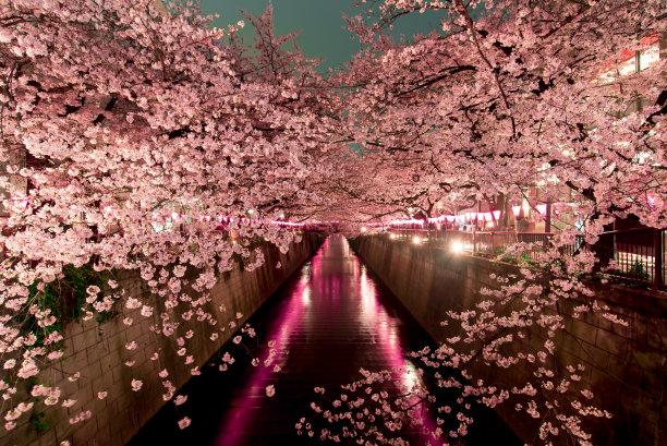 东京的樱花