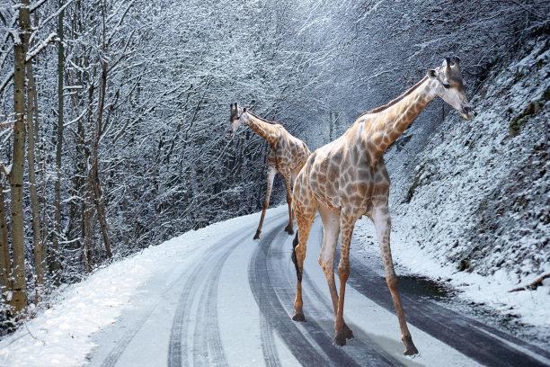 长颈鹿冬天路
