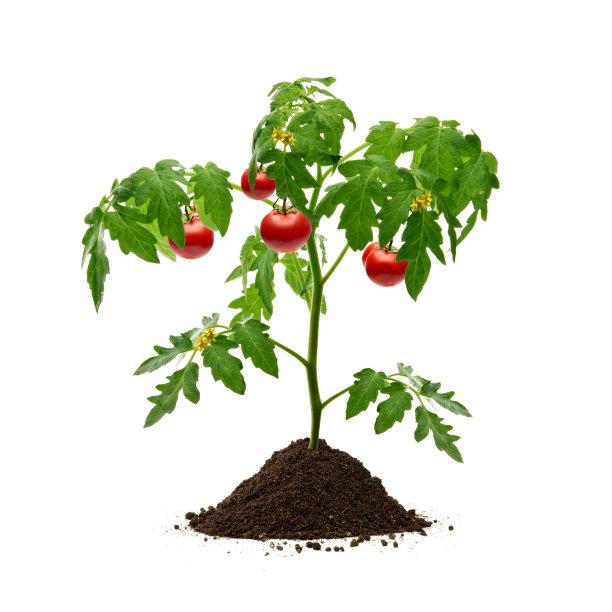 西红柿盆栽