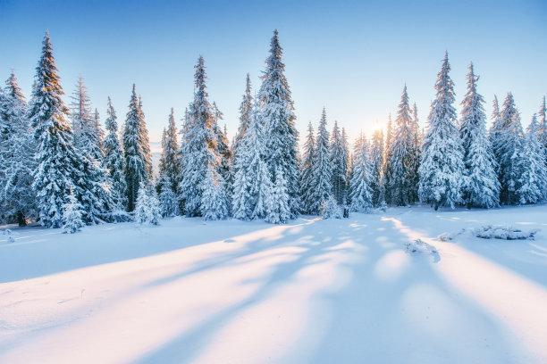 松树林雪景