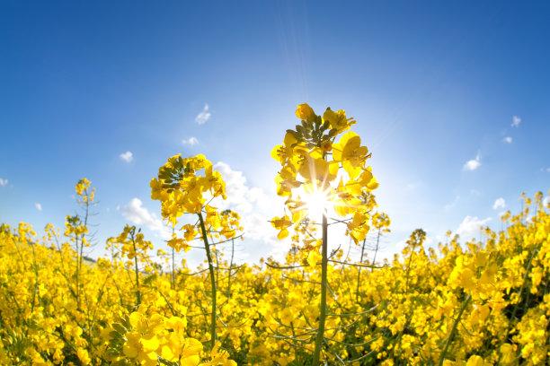 油菜花田地仅一朵花