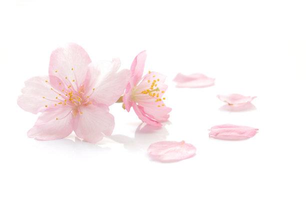 亚洲樱桃树花瓣