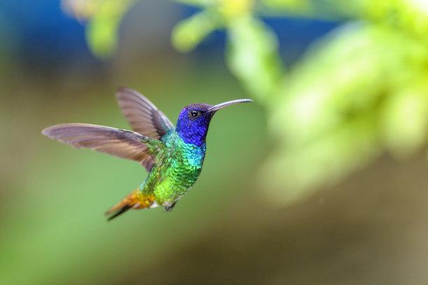蓝宝石蜂鸟