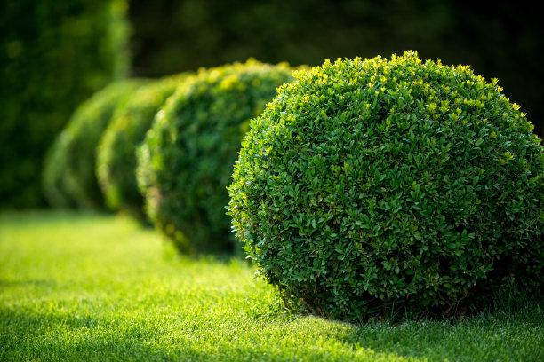 黄杨木灌木摄影