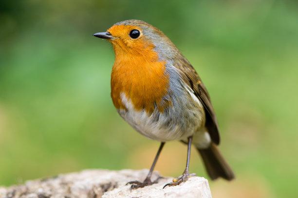 橙色知更鸟