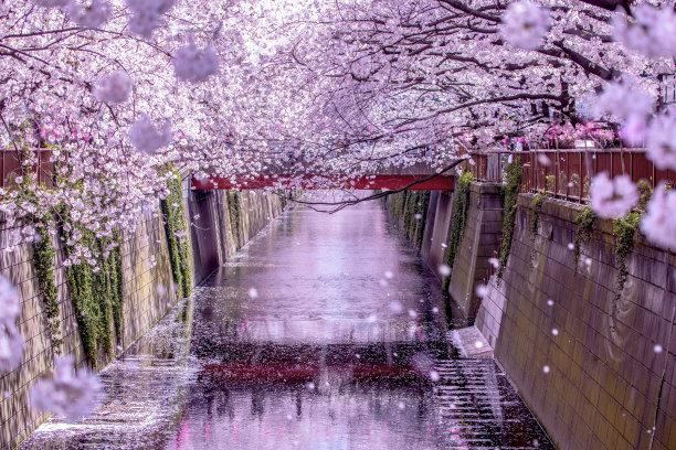目黑河樱花日本