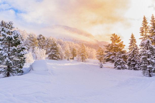 冬天黎明杉树