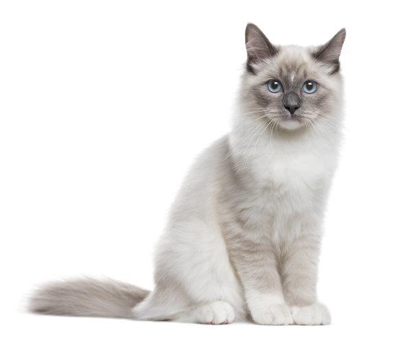 坐着的暹罗猫