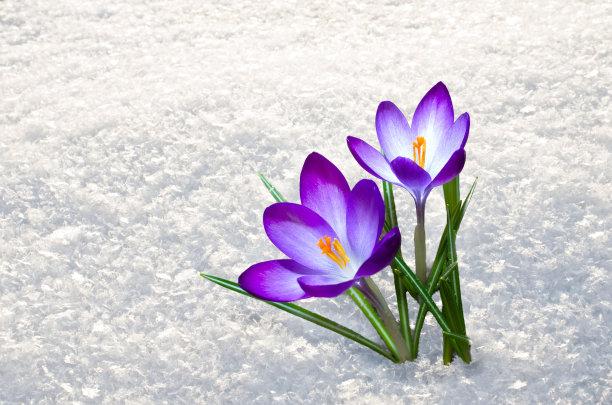番红花属数字1雪花莲