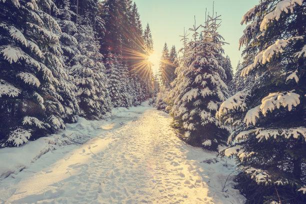 松树上挂满雪