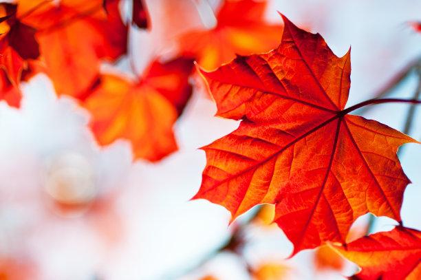 红花槭加拿大文明橙色