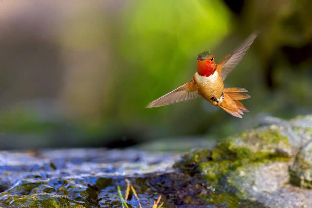 旧金山蜂鸟