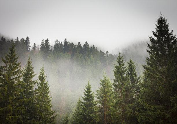 森林树林云杉