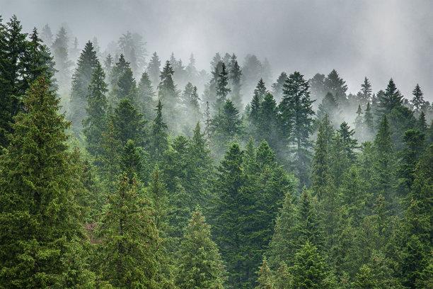 松树森林多云