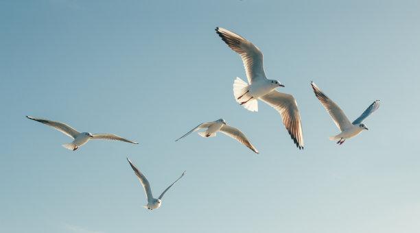 海鸥海鸟鸟类