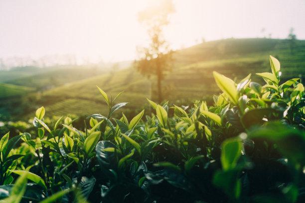 斯里兰卡茶树茶叶