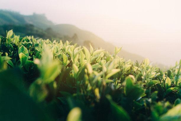 斯里兰卡的茶树