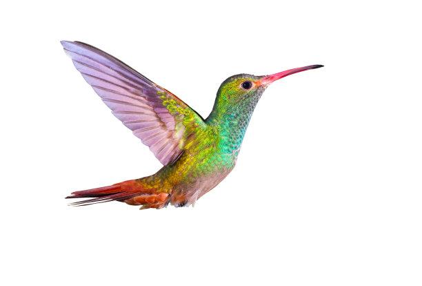 蜂鸟红褐色尾蜂鸟鸟类